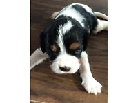 Tri colour King Charles Spaniel. One male and one female.