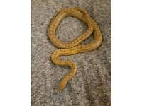 5 corn snakes for sale snakes only