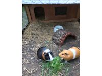2 guinea pigs, indoor and outdoor hutch/run and accessories