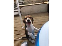 Beagle puppy 12 weeks old