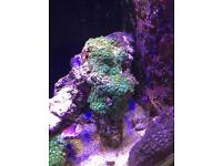 Live rock with green and purple zoas
