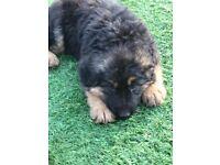 IKC German Shepherd puppies