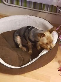 2 year old. Lovely sliver yorkie (bitch) called Terrie to sell to a good home.