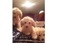Beautiful Toy Poodles For Sale