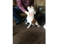BEAUTIFUL staffy pups (8month) brother and sister!! Child friendly!!