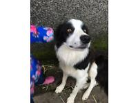 2 year old male Collie