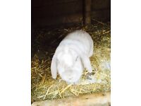Adult rabbits for sale