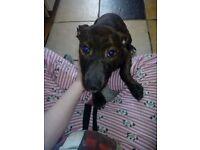 Girl Staffordshire puppy