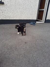 Cross husky pups for sale