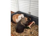 Two Male Guinnea Pigs