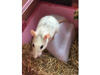 2 female rats looking for good home