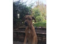 Boxer x mastiff female 6mth