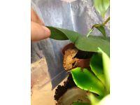 Baby crested Gecko Set up.