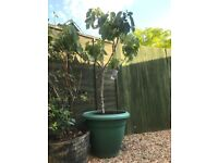 Large Fig Tree with Pot