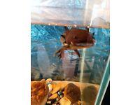large fish tank (3' x 1' x 1.5') and pump/filter + axalotl