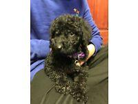 9 week old female standard poodle