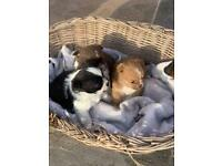 Shih tuz puppies