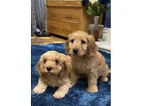 F2 toy Cockapoo puppies girls