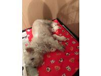 West highland white terrier bitch puppy