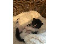 Kitten 1 fluffy long haired black & white girl left (vet checked vaccinations ID chip included)