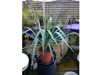 Lovely large flowering yucca forsale