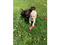 Check out my gorgeous Labrador Puppies for sale, used for sale  Laindon, Essex