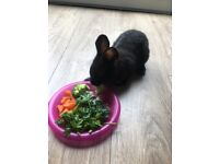 Rabbit netherland dwarf 5 months old comes with hutch and accessories