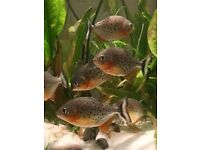 8-9cm Juvenile Red-Bellied Piranhas for sale