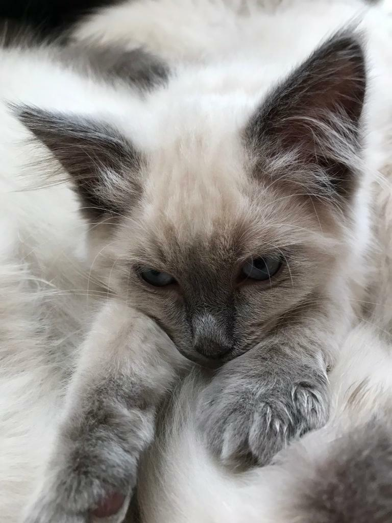 Blue Point Ragdoll Kitten GCCF FULL PEDIGREE & registered | in Cowdenbeath,  Fife | Gumtree