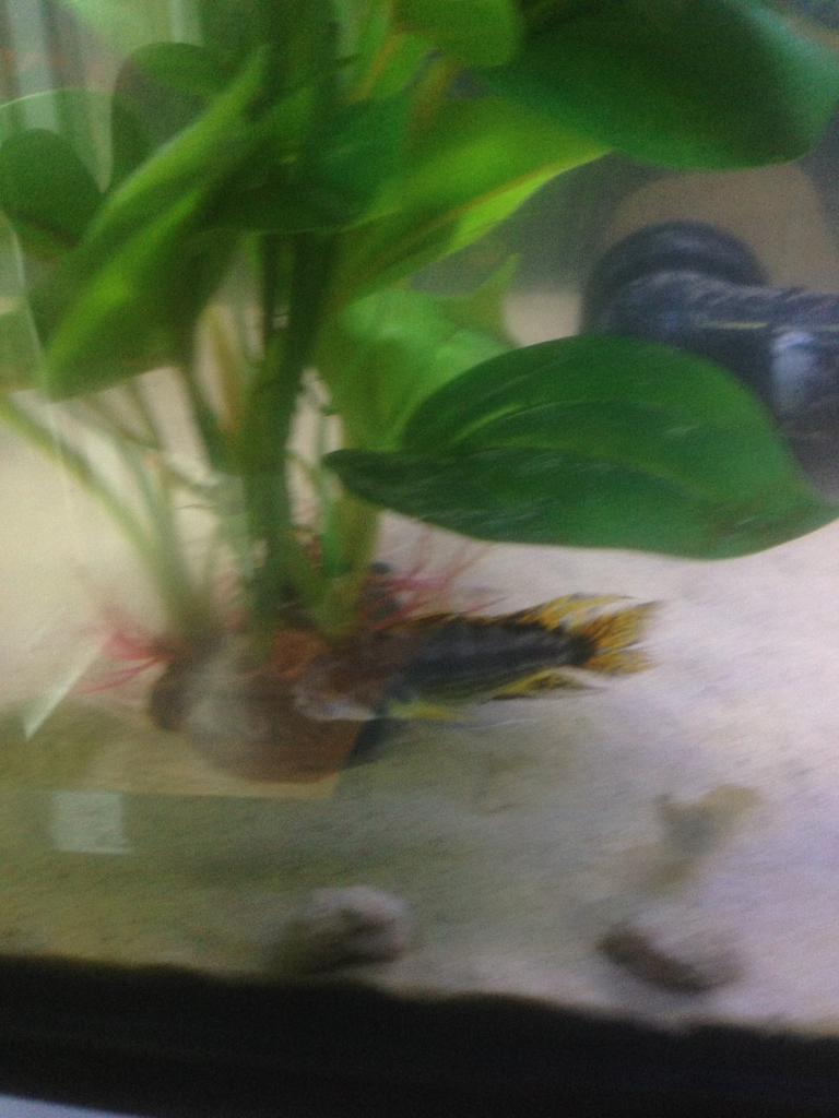 Fish for Sale - Apistogramma Cichlids