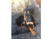 Doberman Male puppie for sale