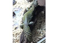 Uromastyx cost £300