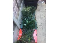 50 EVERGREEN POTTED GARDEN PLANTS