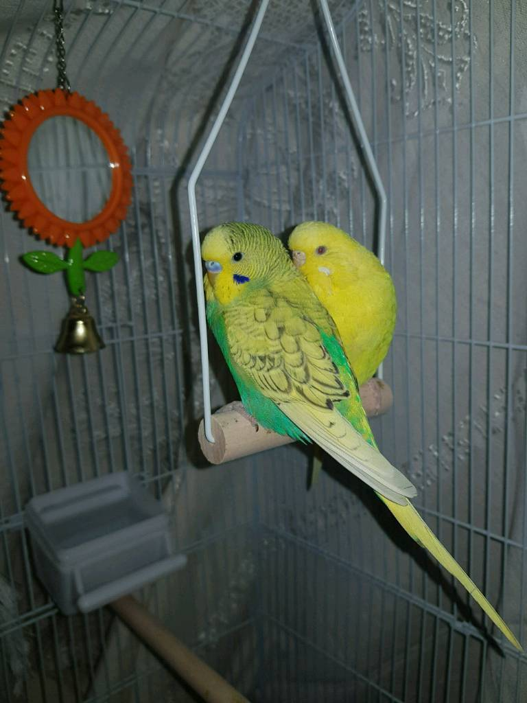 Beautiful Male & Female Budgie (Cage & Food Included) | in Tower Hamlets,  London | Gumtree