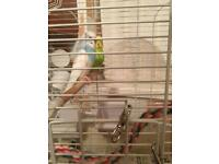 2 male budgies for sale with cage and accessories
