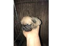 KC REG FRENCH BULLDOG PUPPYS! Large litter - Variety of couloirs from blue to black