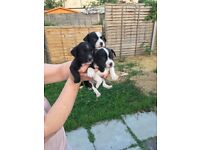 Patter dale cross puppies