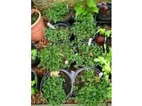 5 Large creeping lemon thyme plants