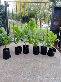 Young Cherry Laurel Hedging Plants-Ready To Plant Now