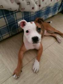 16 week old Staffordshire bull terrier pup