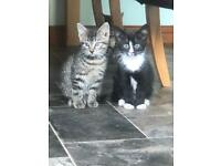 2 Beautifully Marked Kittens for Sale