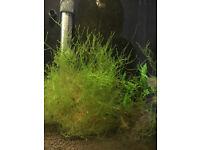 10g-Live-Aquarium-Java-Moss-For-Tropical-Fish located in Leeds LS27