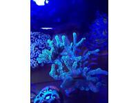 seriatopora guttatus (green birdsnest) SPS coral for marine fish aquarium