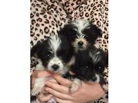 Bischon frise x chihuahua pups for sale