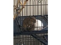 2 male degus free to a good home preferably someone who has had or already owns degus