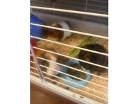 4x Female guinea pigs to be rehomed