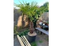 Tree Fern Palm 1.5m