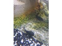 Bristlenose / yellow spotted plec