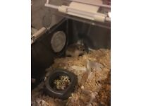 2 x Hamsters and Cage and toys