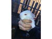 Baby mini lops 9female 4 male